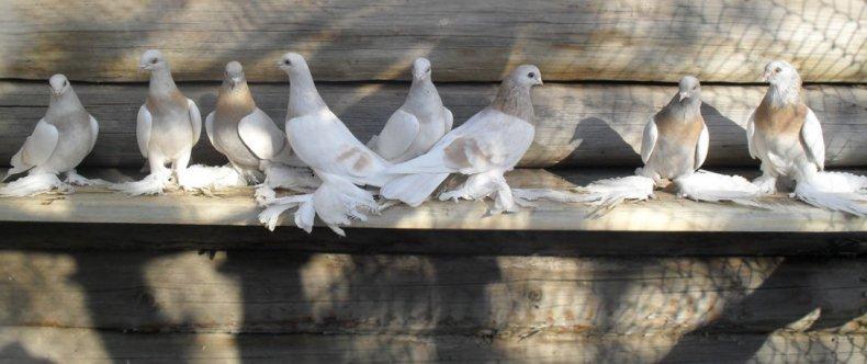туркменский, бойные, голубь, агараны