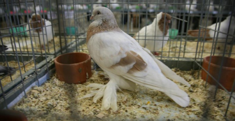 Туркменские бойные голуби агараны