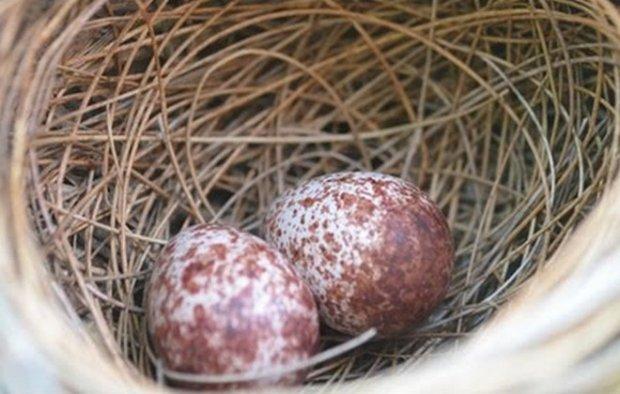 Начало яйценоскости у хайсекссов