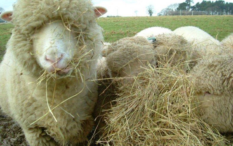 Солома для овец