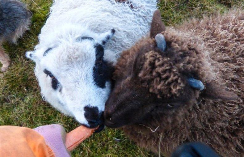 Морковь для овец
