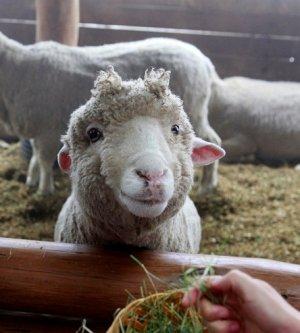 Кормление овцы