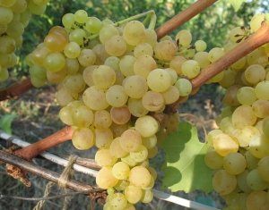Вкус винограда очень приятный, несмотря на ранний сорт
