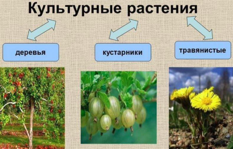 культурные травы фото