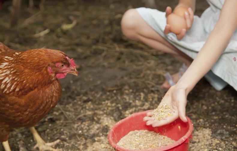 корм, курица, суточный, рацион, корма несушек