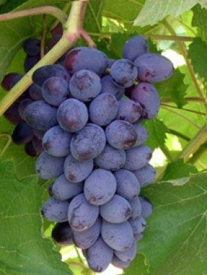 Лучшие кишмишные сорта винограда выращиваемые в украине