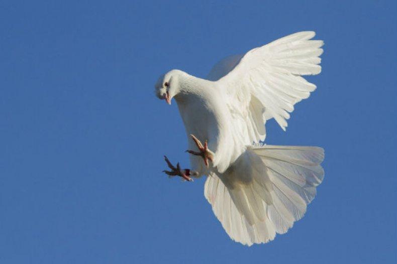 содержание, уход, турецкий, бойными, голубь