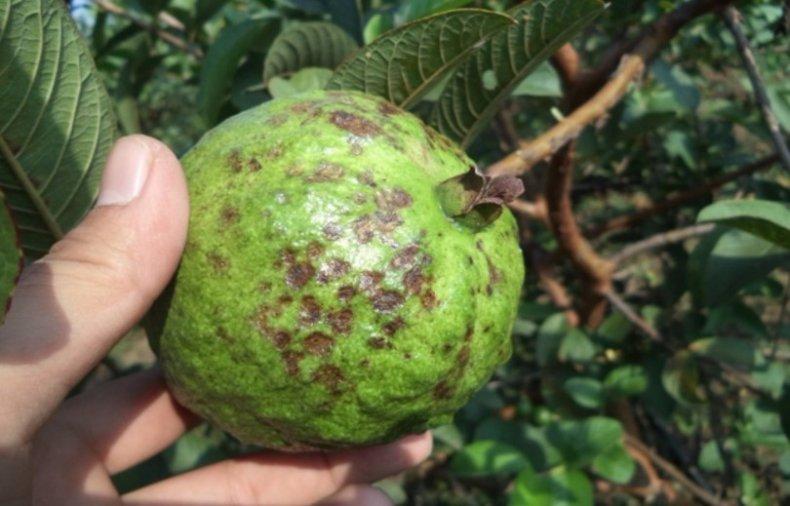 Антракноз на плодах
