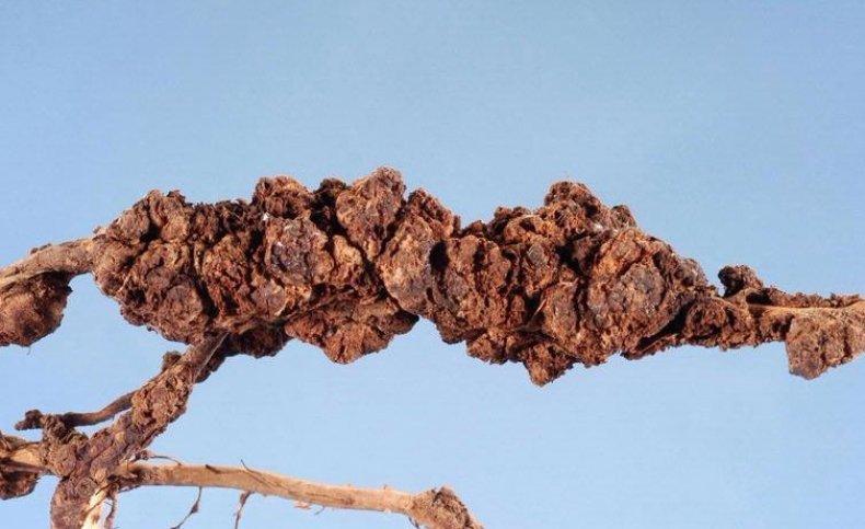 Повреждение корней гуавы нематодами