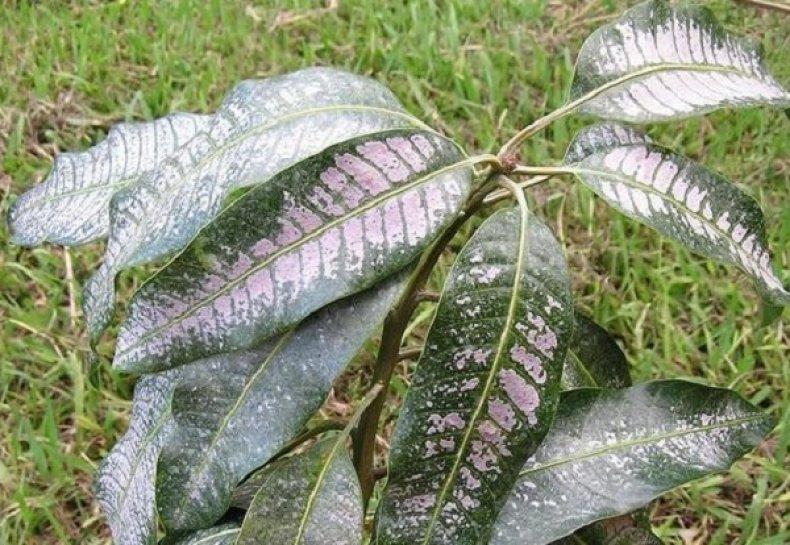 Листья гуавы, пораженные трипсами
