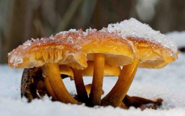 Фламмулина — гриб, растущий из-под снега!