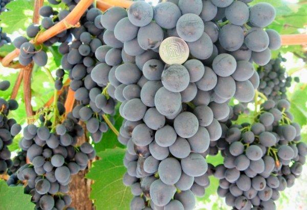 Виноград на кубани лучшие сорта