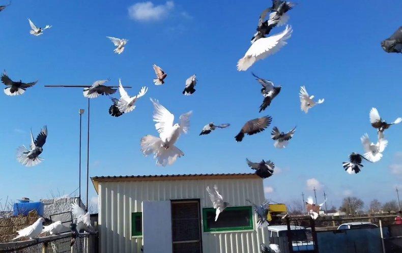 николаевские, высоколетные, голубь, описание, разведение, домашний