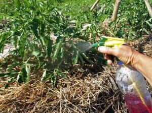 огородник, подкормить, помидор, высадка, грунт