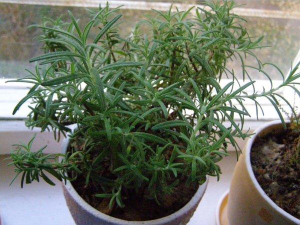 Розмарин – посадка семян, выращивание и уход в открытом грунте