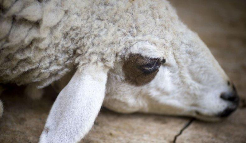 Болезни баранов, овец и ягнят их симптомы, лечение, профилактика