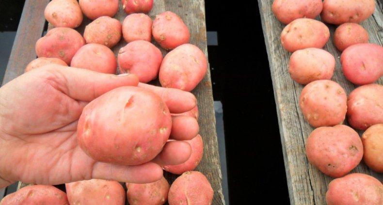 Картофель «Родриго»