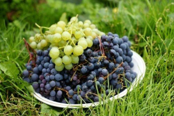 Лучшие сибирские сорта винограда