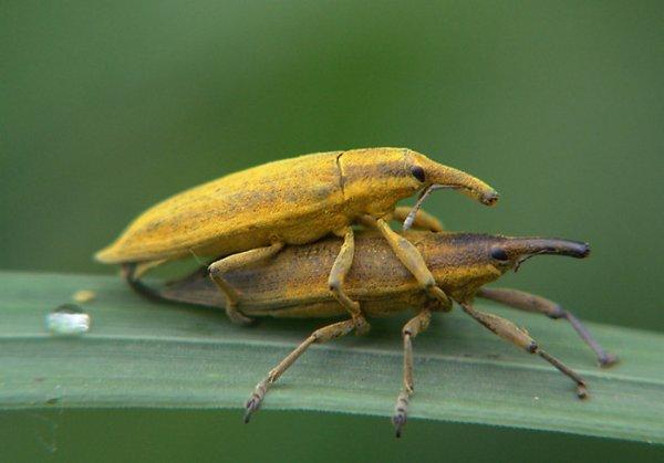 Какие насекомые считаются вредителями полей и огородов