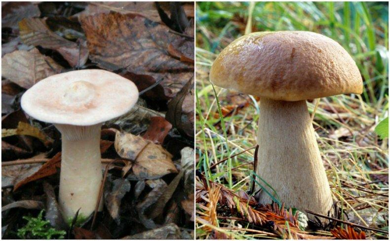 Говорушка и белый гриб