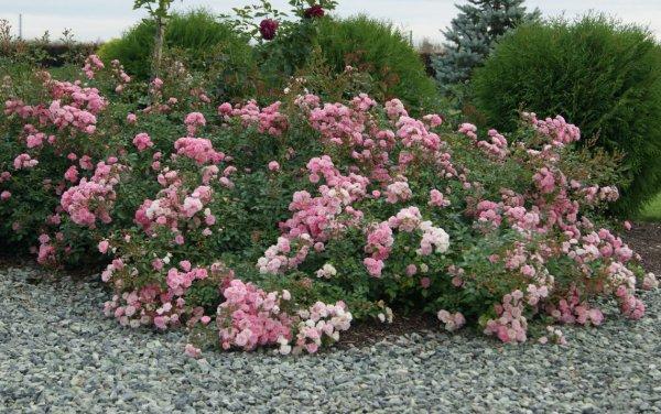 Секреты выращивания почвопокровной розы Йеллоу Фейри