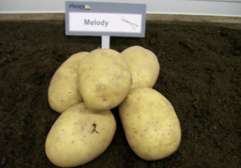 Картофель сорта Мелодия