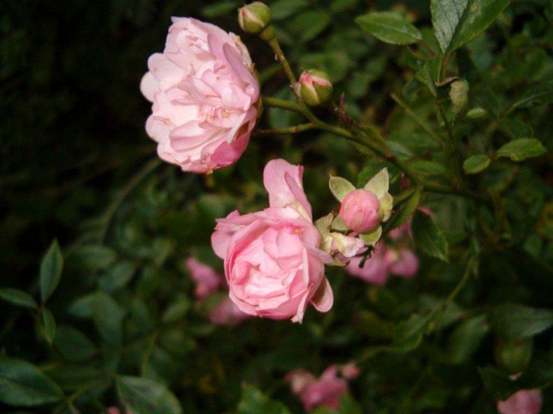 Роза «Фейри»