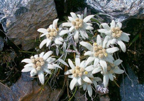 Особенности посадки и выращивания эдельвейса в саду