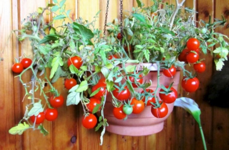 Сорт томатов «Балконное чудо»