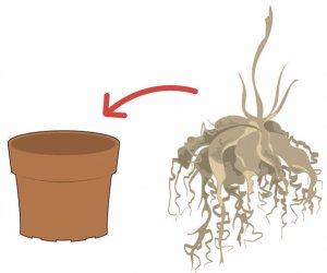 Проверка корней аспарагуса