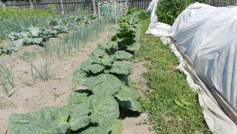 Махорка как выращивать в домашних условиях