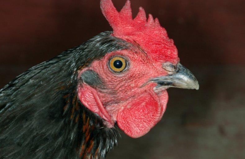 Моравская курица
