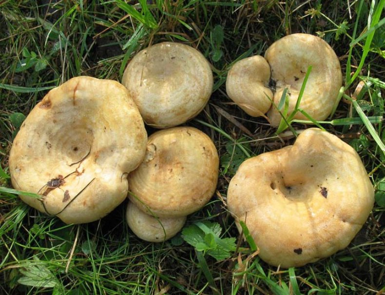 уже грузди грибы фото и описание подмосковье новогодняя рамка
