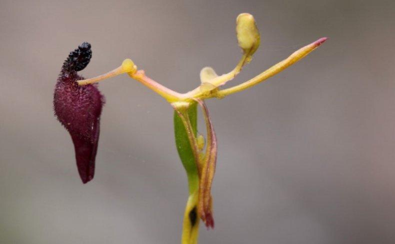 Орхидея сексуальная