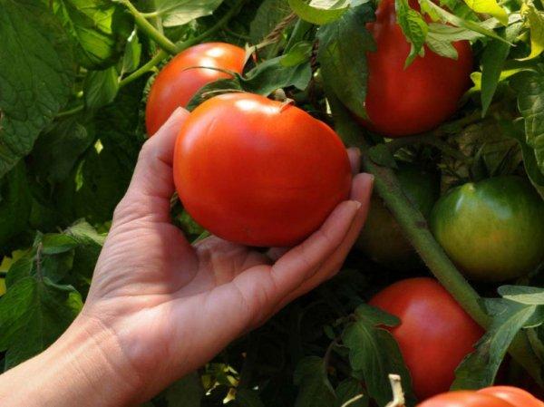 Томат Таймыр описание и характеристика сорта мнение садоводов с фото