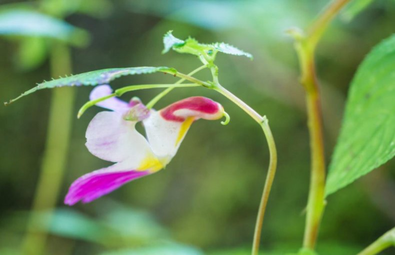 Цветок-попугай