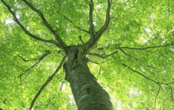 Где растет и как выглядит дерево бук