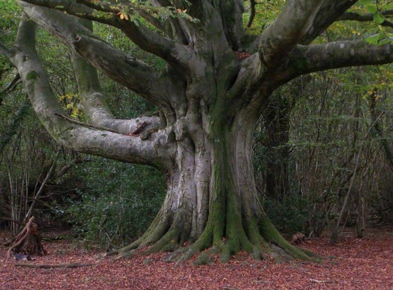 что за дерево бук фото и описание