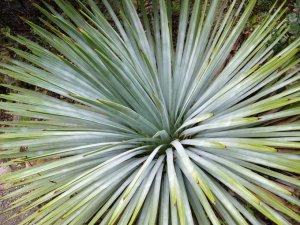 Юкка виппла (Yucca whipplei)