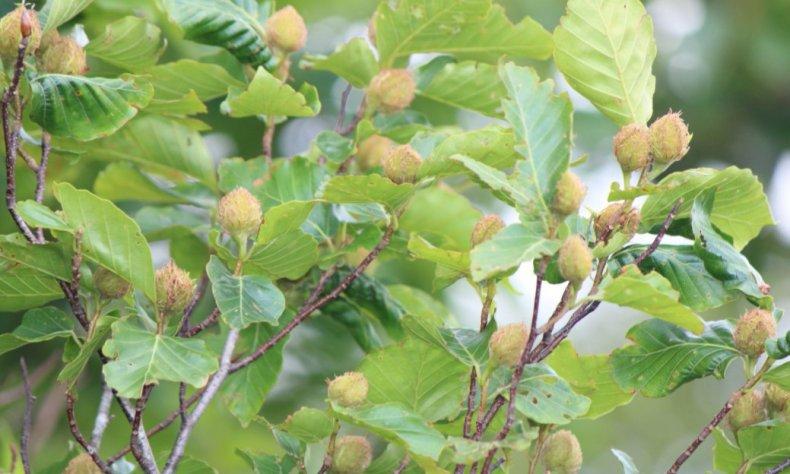дерево бук плоды