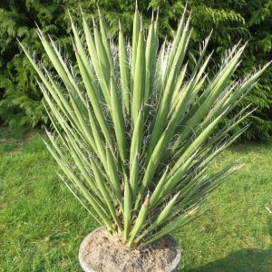 Юкка нитеносная (Yucca filifera)