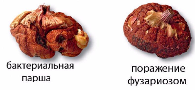 Пораженные болезнью луковицы