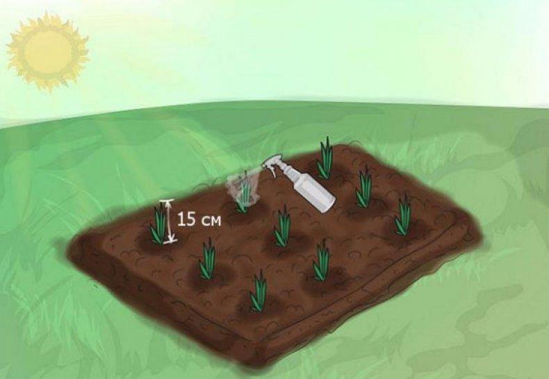 Удобрение гладиолусов