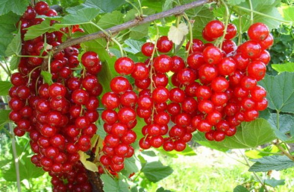 Описание и характеристики красной смородины сорта Сахарная, посадка и уход