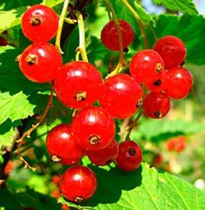 Смородина красная «Сахарная»: описание сорта, фото, посадка и уход