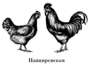 панциревская, описание, продуктивность, содержание, кормление, птичьего двора
