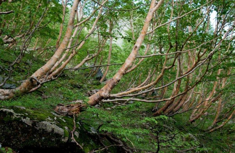 Береза ботаническое описание дерева, виды, применение, где растет, сколько лет живет