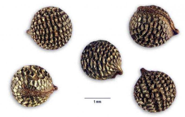 Семена аргемона