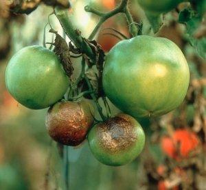 Фитофтора на плодах помидора
