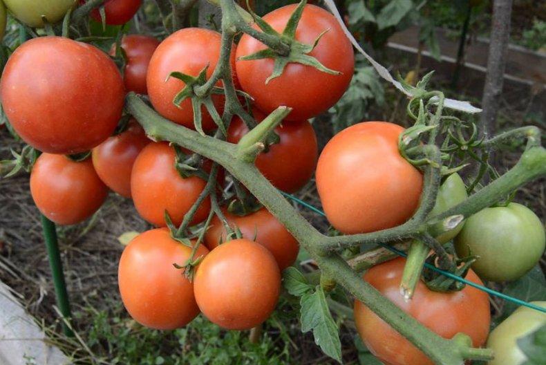 томат, снегирь, описание, сорт